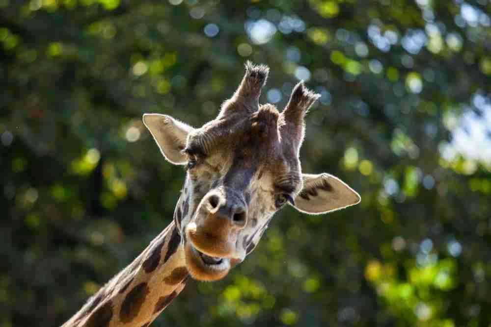 Tiergarten Schönbrunn Giraffe