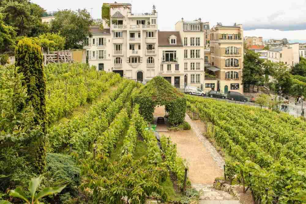 Die Weinberge von Montmartre in Paris